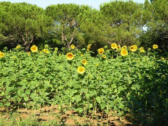 Case Sant'Anna: some of the sunflowers sorrounding the property