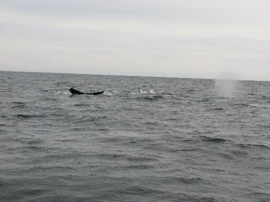 Whale Cruises on the Julien Cloutier Enr. : 2 humpbacks dive while another spouts