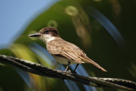 Barceloneta, Puerto Rico: Loggerhead Kingbird at the T.J. Ranch, Arecibo