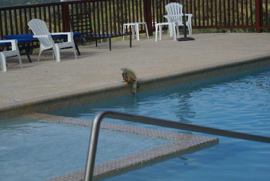 Rainforest Ocean View Inn: iguana cooling off