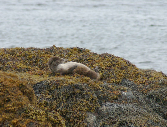 Western Isles Wildlife Tours: Otter rolling