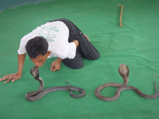 Mae Rim, Thailand: yes, the snake man kissed the king cobra!