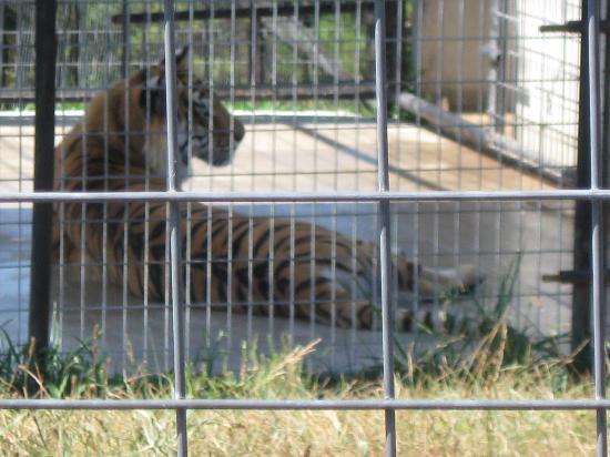 Turpentine Creek Wildlife Refuge: Heather, the tiger.