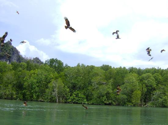 Langkawi, Malasia: Eagle feeding