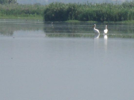 Agmon Hahula: A pair of pelicans that are injured and unable to migrate