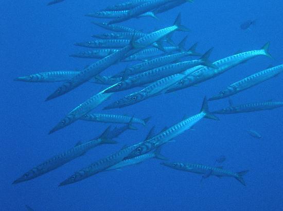 Horizon Sardegna: barracuda