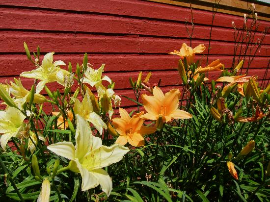 The WaterWheel: Lovely day lillies along the side of the restaurant