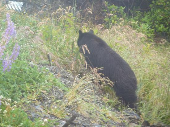 Soule Creek Lodge: Black Bear in the morning!