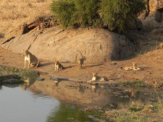 Diamonds Dream of Africa : Lions of Tsavo West