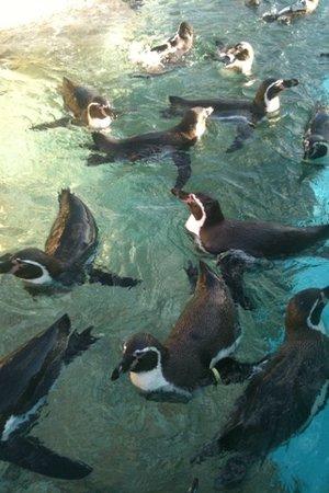 Kuchinoerabu Island: 野外コーナーのペンギン
