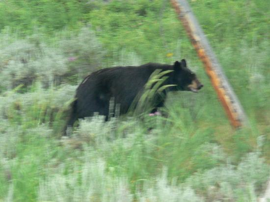 Silver Gate Cabins: Black Bear just a couple of miles from cabin