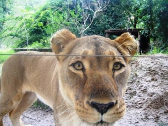 Harare, Zimbabwe: A happy guest, a lioness