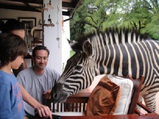 Wild Is Life Trust and ZEN: Ophelia the worlds friedliest zebra, wants some cake