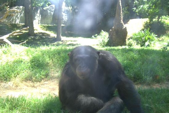 North Carolina Zoo: Gorilla in the mist