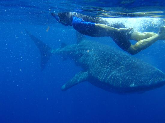 Holbox Hotel Mawimbi: Snorkeling with a Whale Shark