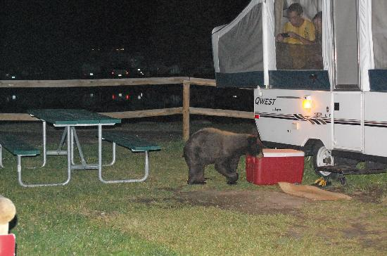 Spruce Lake RV Park: Little Black Bear in Camp