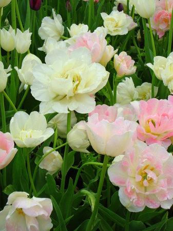 United States Botanic Garden: tulips