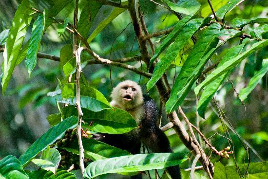 Bosque del Cabo Rainforest Lodge: One of a bunch of capuchins on the trails