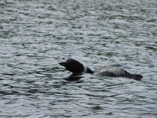 Lake Forest RV Resort : Loon on Great East Lake (at Lake Forest Resort)
