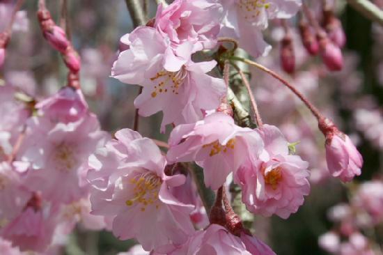 Hinaya Kyoto: cherry blossoms