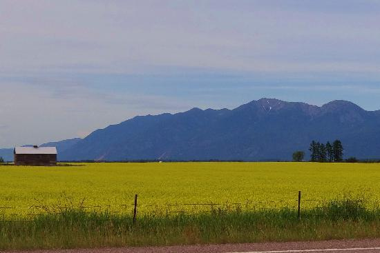 Holiday Inn Express Hotel & Suites Kalispell: gorgeous yellow field outside town