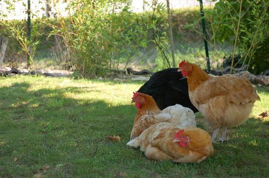Vallee des Vignes Chambres d'Hotes : Adorable chickens in the garden