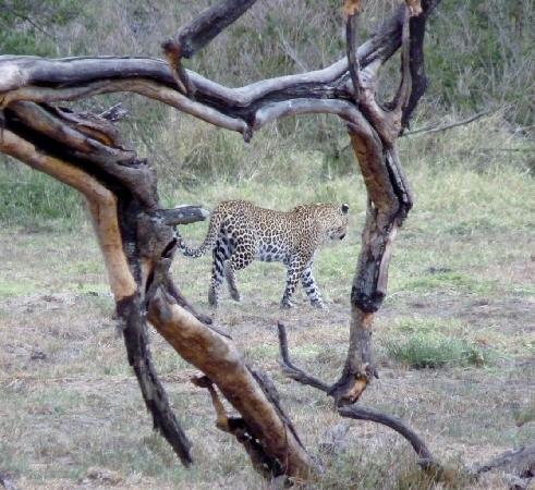 Porini Mara Camp: Our first Leopard