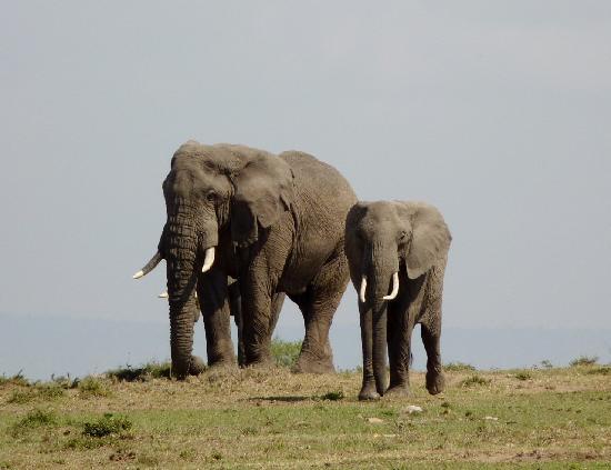 Porini Mara Camp: A fine tusker & friends