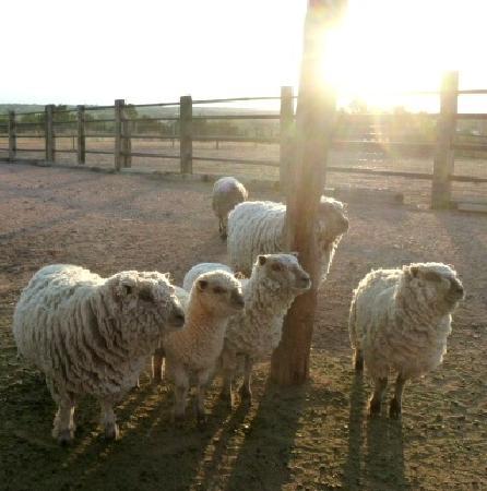Crystal Mesa Farm B&B: sheep at sunrise