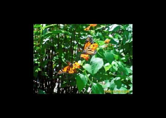 Mayaguez, Puerto Rico: Butterflies