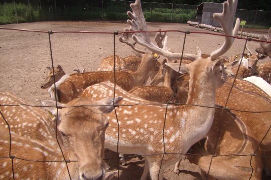 Deer Forest Exotic Animal Sanctuary: Deer at Deer Forest