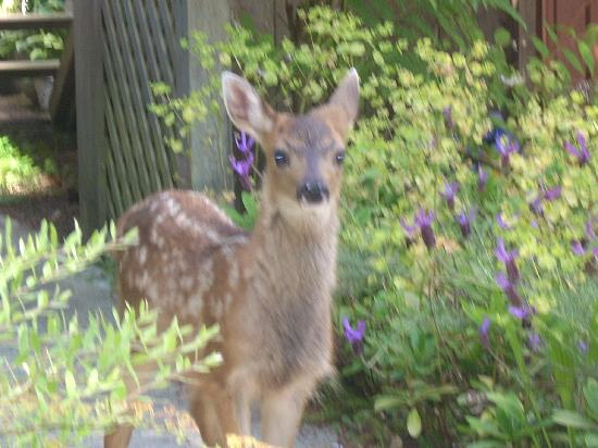 At Nautica Tigh Bed & Breakfast: Lost fawn at our doorstep.