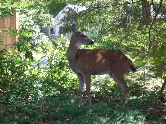 At Nautica Tigh Bed & Breakfast: Fawn's Mama in our garden.
