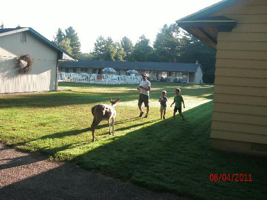 Country Club Motel: Deer walking through motel grounds in the morning