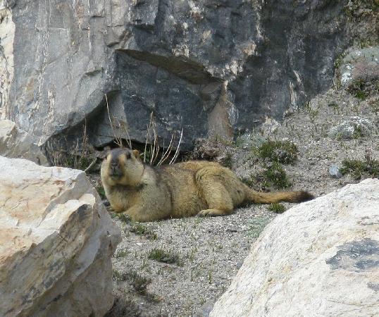 Sightseeing Hotel Rongphu : Himalayan marmot