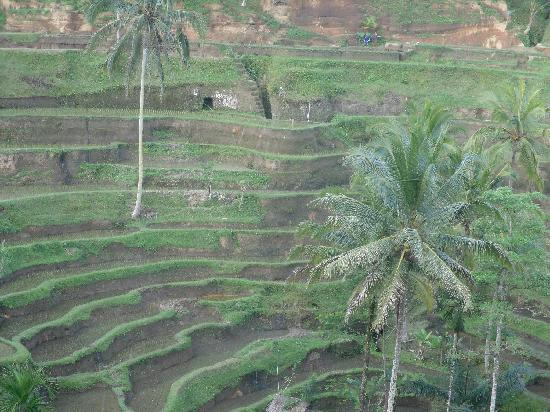 Tirtarum Villas, Canggu Bali: Rice paddies in the mountains