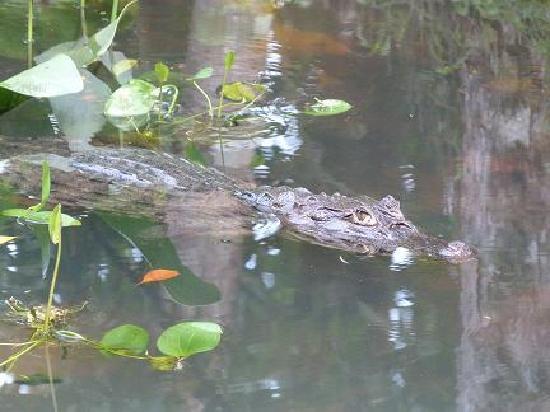 La Quinta de Sarapiqui Country Inn: les caimans