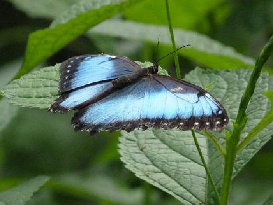 La Quinta de Sarapiqui Country Inn: papillons morpho dans le jardin