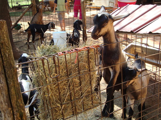 Split Creek Farm: Goats
