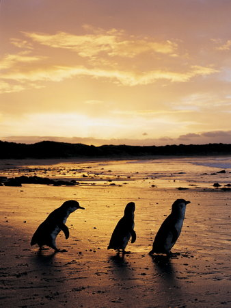 Phillip Island Nature Parks - Penguin Parade
