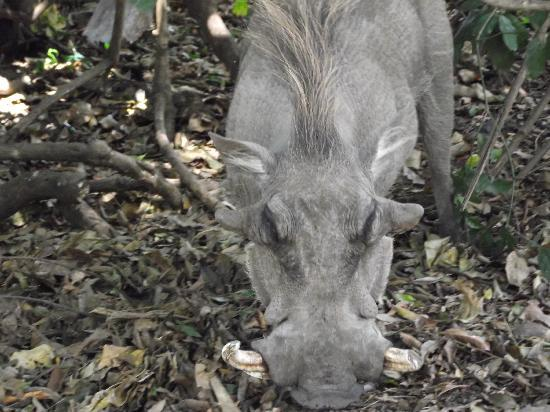 Governor's Camp: close up warthog in the camp