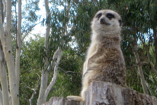 Halls Gap Zoo: Meerkat on the lookout