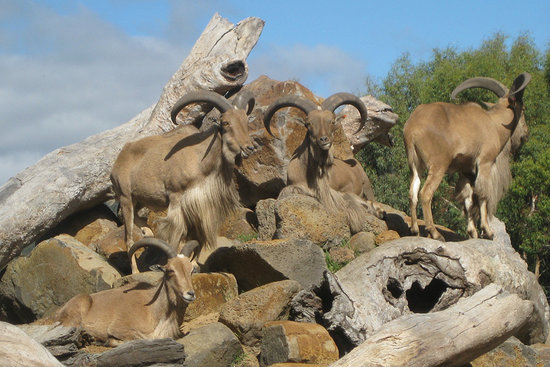 Halls Gap Zoo: Barbary Sheep