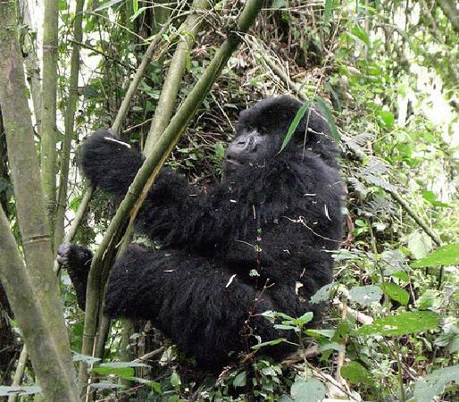 Bwindi Impenetrable National Park: African-mountain-gorilla