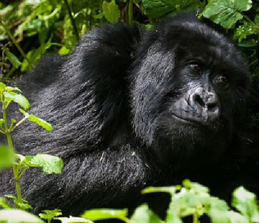 Bwindi Impenetrable National Park: Bwindi mountain Gorilla
