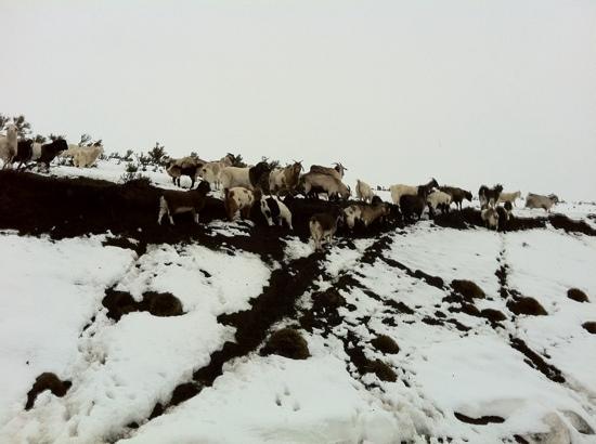Malalcahuello Thermal Hotel & Spa: cabras en camino a icalma