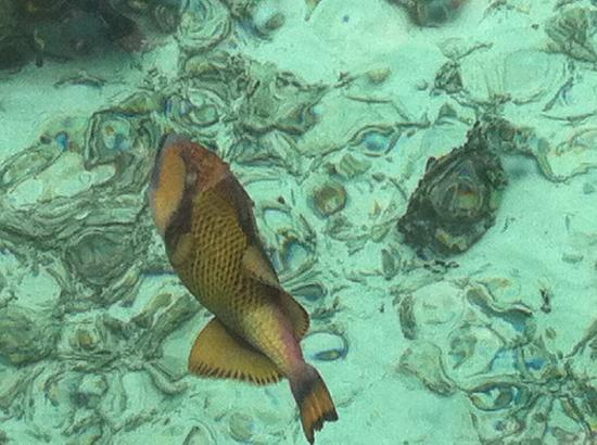 Coco Bodu Hithi: One of the many fish seen from our deck
