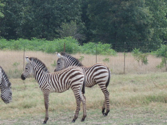 Gentry, Арканзас: Two young zebra.