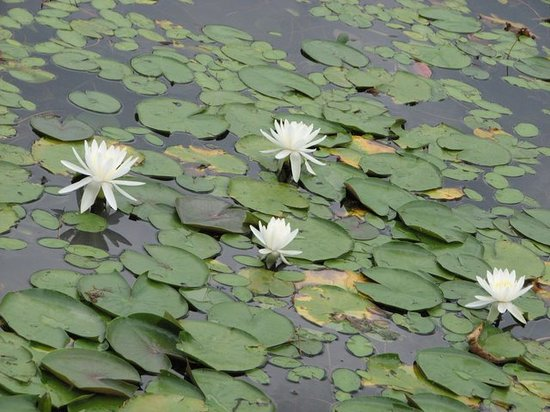 Millbrook, NY: water lilies