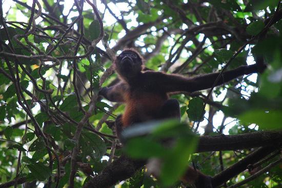 Casita Corcovado: un singe